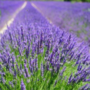 Lavender Backyard garden BG